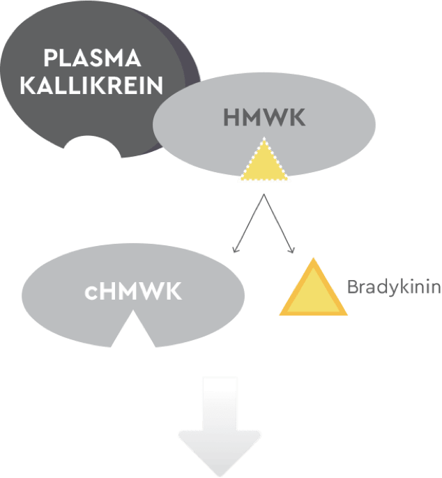 How plasma kallikrein, HMWK, cHMWK, bradykinin work in an untreated HAE patient
